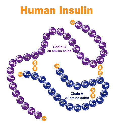 Amino acid sequence of insulin