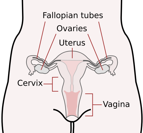 Reproductive system of a Therian Mammal