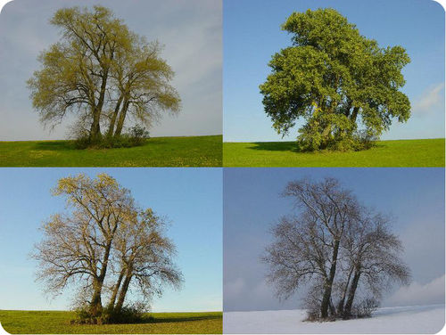 Deciduous tree in different seasons