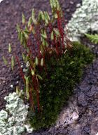 Sporophytes sprout up on stalks from this bed of moss gametophytes