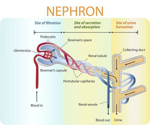 In-depth diagram of nephron