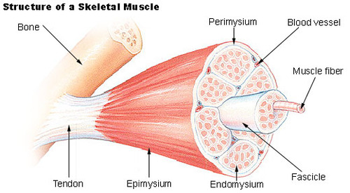 Types of Muscle Tissue | CK-12 Foundation