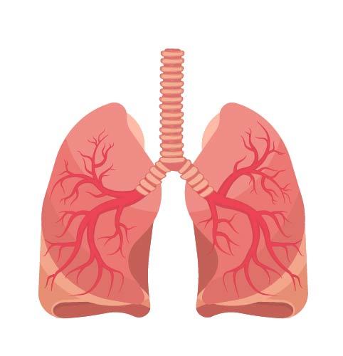 Respiratory System Organs Read Biology Ck 12 Foundation