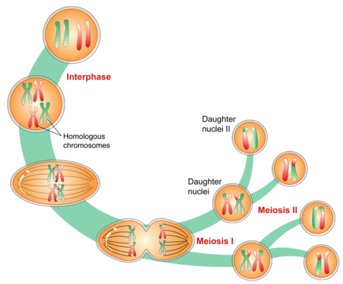 An illustrated overview of meiosis