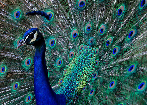 A peacock using his tail feathers to communicate
