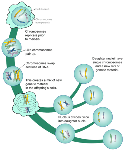 A more detailed illustration of the phases of meiosis
