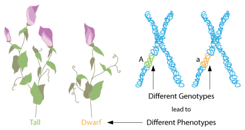 Different genotypes will lead to different phenotypes of an organism