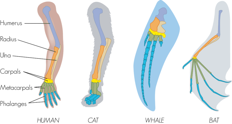Bone structure of various animal forelimbs shows they are homologous structures