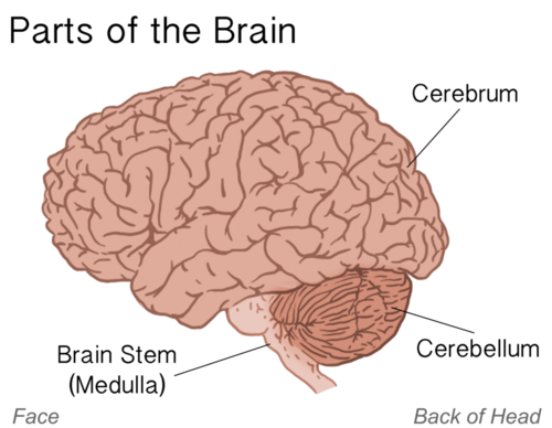 A Brain System That Appears To >> The Nervous System Ck 12 Foundation