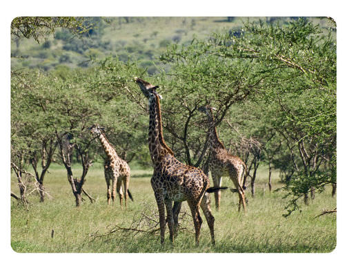 Giraffes feeding on leaves high in trees