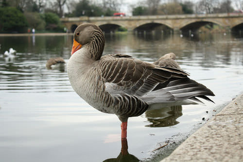 A goose returning an egg to the nest is an innate behavior