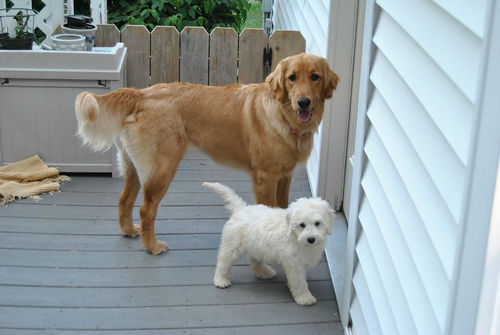 Artificial selection created these different breeds of dogs