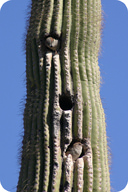 Birds living in a saguaro cactus