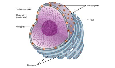 Cell Nucleus Pre Read