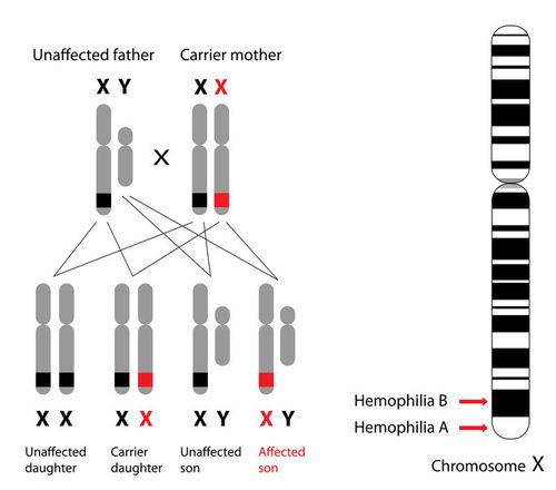 Sex Linked Traits Read Biology Ck 12 Foundation