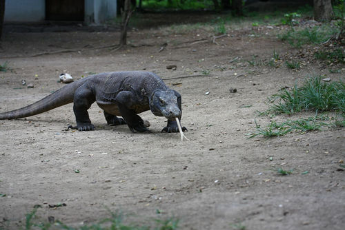 Picture f a Komodo dragon, the largest of the lizards