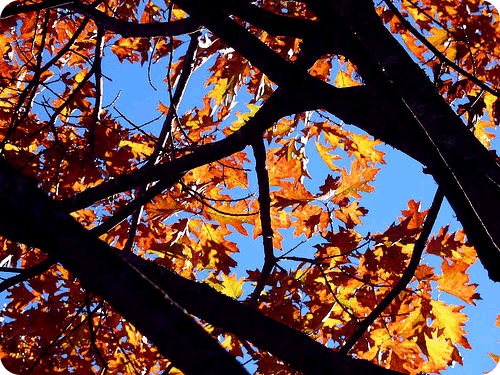 Leaves change color in a response to the shortened length of the day in autumn