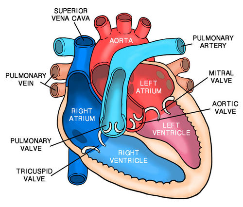 The right side of the heart pumps deoxygenated blood into ...