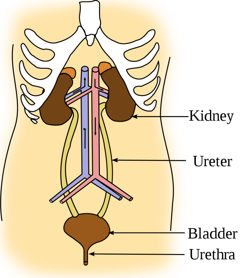 Urinary System Ck 12 Foundation