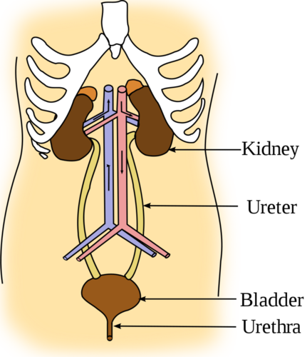 Kidney location in body