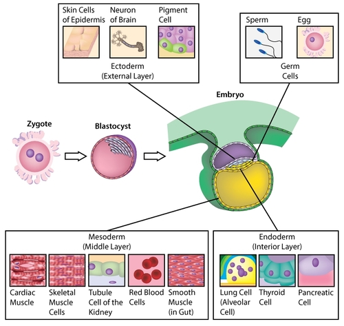 Embryonic cell layers