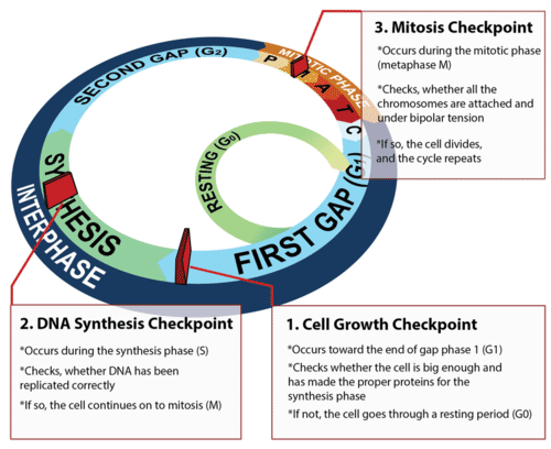 Checkpoints control the cell cycle