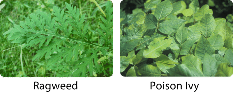 Ragweed and poison ivy