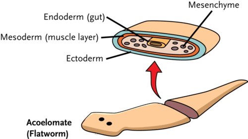Three cell layers of a flatworm