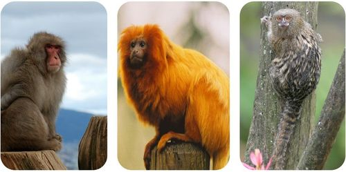 A macaque is an Old World monkey, while a tamarin and marmoset are new world monkeys