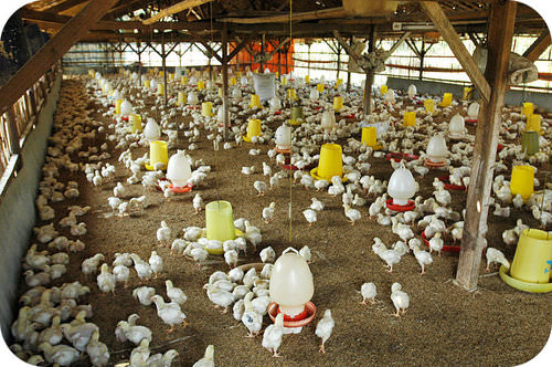 This chicken farm means that runoff from the area is full of pollutants