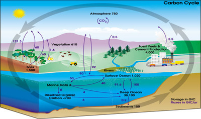 The Carbon Cycle Quiz - MS LS