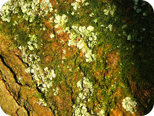 Moss(plant) and lichen growing next to each other on a tree