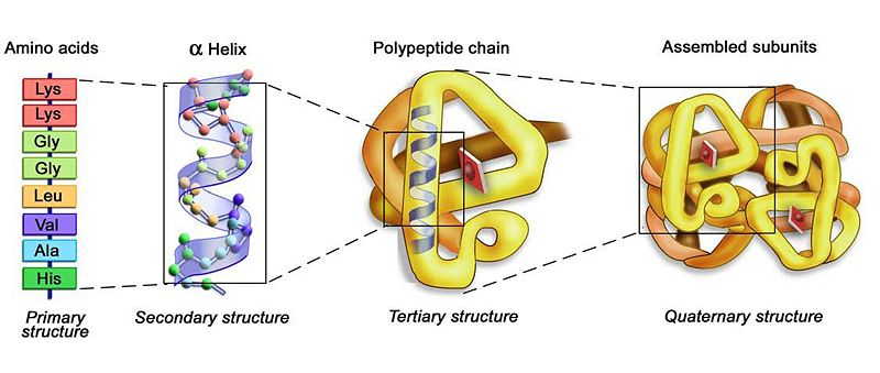 Secondary structure of a protein.