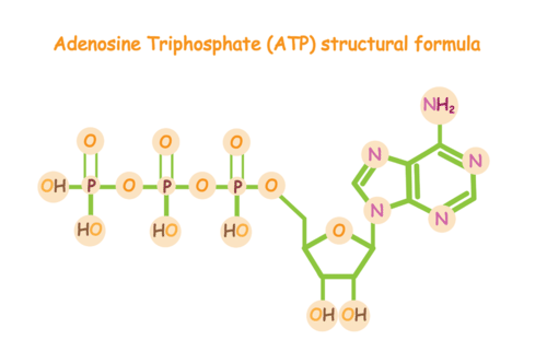 Drawing of the structure of ATP