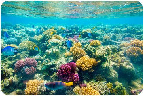 Corals are colonial cnidarians