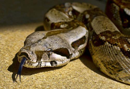 Snakes Advanced Ck 12 Foundation