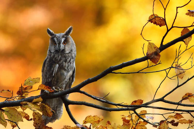 Asio Otus Long Eared Owl Ck 12 Foundation