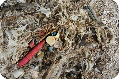 This albatross likely died from the plastic it had ingested