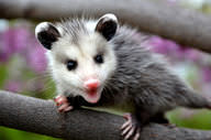 Didelphis virginiana: Virginia Opossum