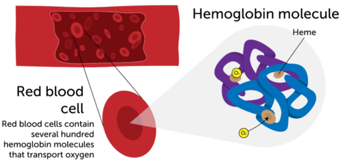 Hemoglobin transports oxygen around the body