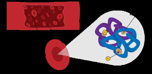 Hemoglobin transports oxygen around the body