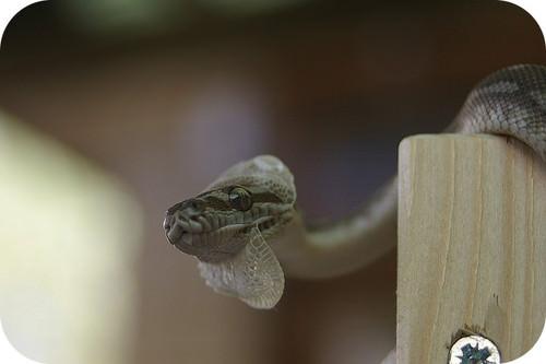 Centralian carpet python shedding its skin