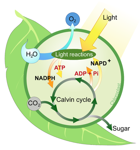 3 stages of energy conversion in photosynthesis