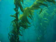 Kelp forests help sustain large communities