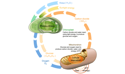 Connecting Cellular Respiration and Photosynthesis