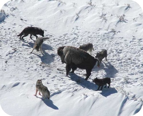 A pack of wolves hunting a bison