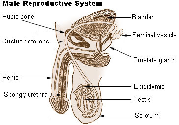 Structures of the male reproductive system ck 12 foundation figure 2 the male reproductive system ccuart Gallery