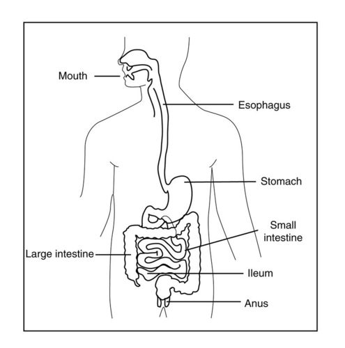 This illustration shows many of the major organs of the digestive system