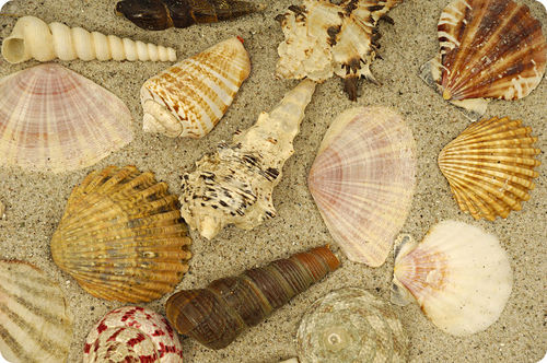 The beach yields a wide variety of mollusk shells