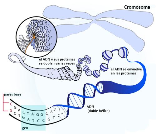 ácidos Nucleicos Ck 12 Foundation